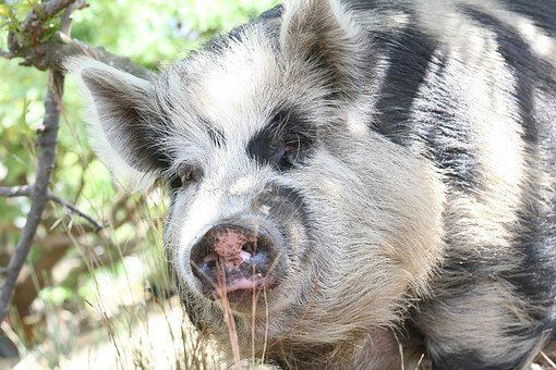 Animal, Bacon, Big, Boar, Clean, Cute, Dirty, Ear, Eco