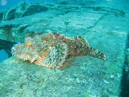 Stenfisk, Borneo, Dive