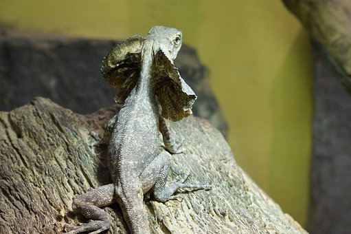 Frill Necked Lizard, Lizard, Reptile, Dragon, Zoo