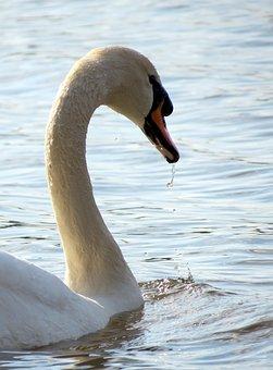 Wildlife, Nature, Bird, Feathers, Water, Estuary, Swan