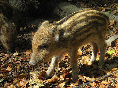 Launchy, Boar, Young Animal, Nature, Forest, Mammal