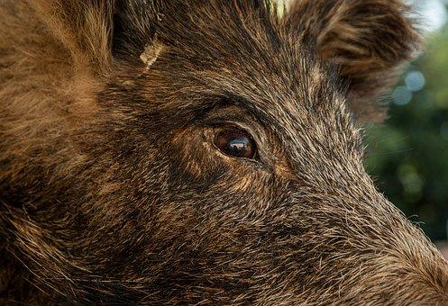 Wild Boar, Hunting, Game, Wild Animal