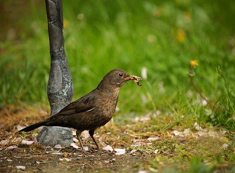 Blackbird, Bird, Songbird, Garden, Beak Full