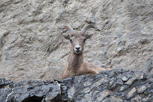 Mountain Goat, Cliff, Horn, Goat, Nature, Mountain