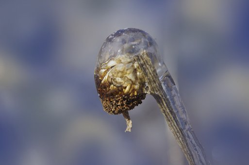 Frozen, Flower Bud, Winter, Ice, Encased, Plant, Macro