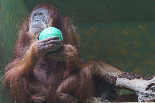 Monkey, Oran Utan, Dreamy
