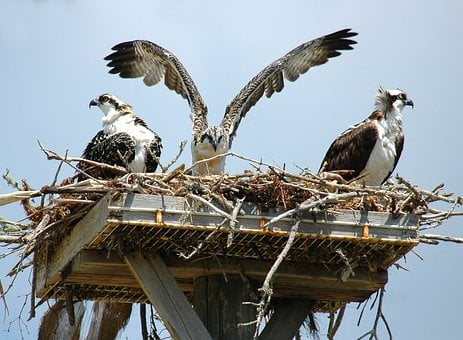 Ospreys, Hawks, Birds, Flying, Flapping, Wings, Nest