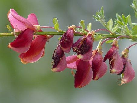 Cytisus Scoparius, Flowers, Red, Plant
