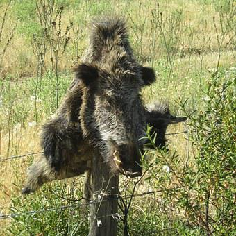 Wild Boar, Hunting, Corsican, Animal Killed, Prey