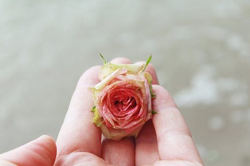 Rose, Rose Flower, Blossom, Bloom, Pink, Pink Rose