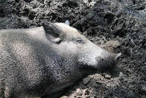 Pig, Wild Boar, Sleep, Wallow, Mud, Animals, Breeding