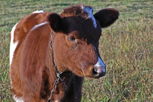 Bull, Young, Calf, Cow, Chain, Tied, Suffering
