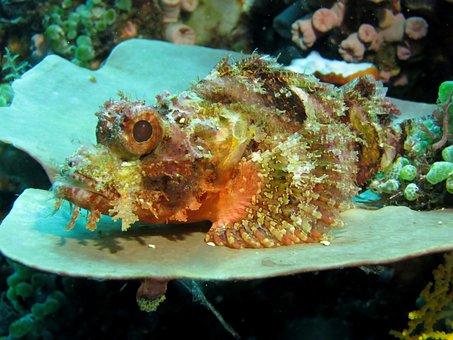Underwater, Scuba Diving, Fauna, Marine, Stone Fish