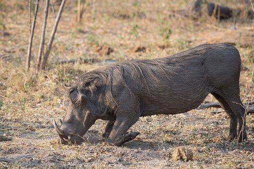 Warthog, Botswana, Animal, Wildlife, Africa, Wild, Boar