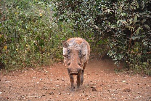 Warthog, Pig, Wildlife, Animal, Safari, African, Wild