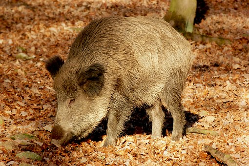 Boar, Wild Boar, Launchy, Wild, Forest, Nature, Zoo
