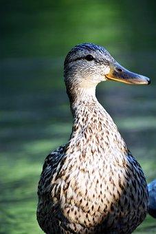 Mallard Duck, Duck, Portrait, Animal, Animal World Of