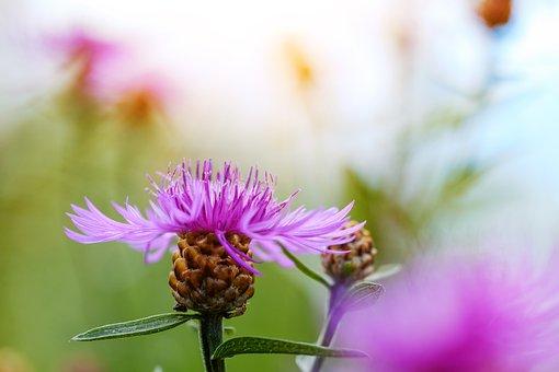 Cornflower, Composites, Asteraceae, Centaurea Cyanus