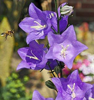 Bellflower, Chalices, Stamens, Bee, Honey Bee, Approach