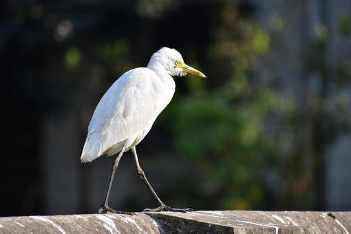White Heron, Standing, Indian, Close Up, Big Bird