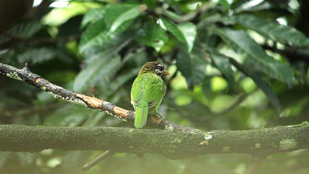 Barbet, Bird, Avian, Green, White, Single, India