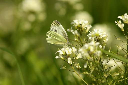 Butterfly, Insect, White Flowers, Summer, Bloom