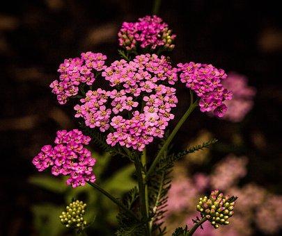 Pink Yarrow, Achillea Millefolium, Flowers, Blossoms