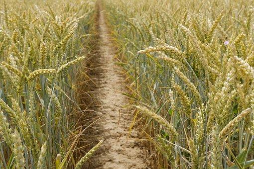 Wheat, Grain, Cornfield, Cereals, Away, Path, Fairway