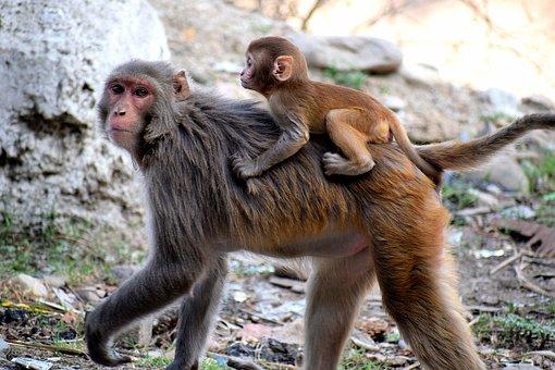 Monkey, Mother, Baby, Mammal, Child, Animal, Love
