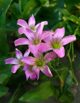 Sorrell, Clover Of Three Leaves, Little Flower, Brazil