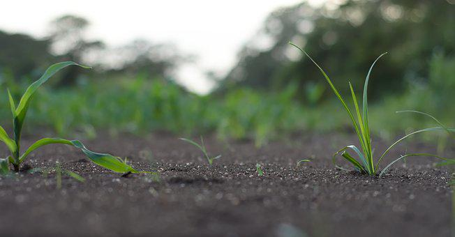 Grass, Small, Nature, Cute, Soil, Corn, Plant, Field
