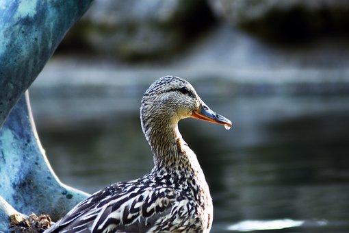 Duck, Mallard Duck, Teal, Creature, Water