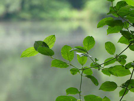 Leaves, Green, Deciduous Tree, On The Shore, Bright