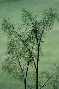 Dill, Herb, Plant, Garden, Green, Food, Leaf, Nature