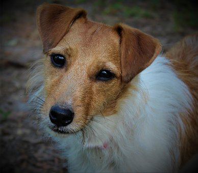 Dog, Pet, Puppy, Jack Russell, Animal, Cute, Canine