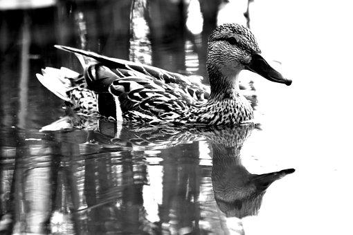 Duck, Mallard Duck, Water, Waterfront, Animal