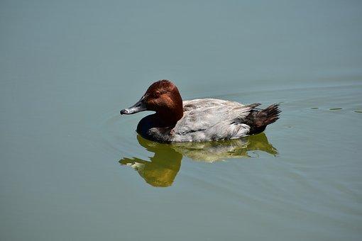 Animal, Pond, Bird, Wild Birds, Waterfowl, Duck