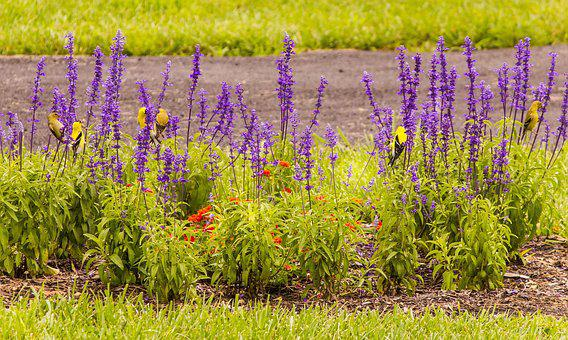 Goldfinch, Songbird, Finch, Blue Salvia, Lantana