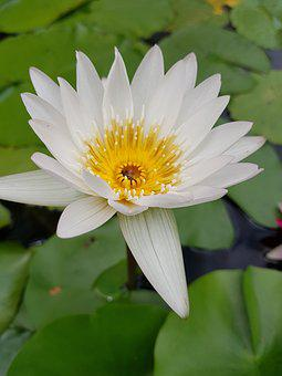 Lotus, Flower, Lily