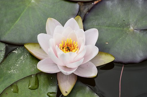 Water Lily, Bee, Nature, Pond, Plant, Flowers, Insect