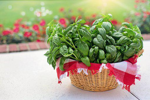 Basil, Sweet Basil, In Basket, Harvested, Picked, Fresh
