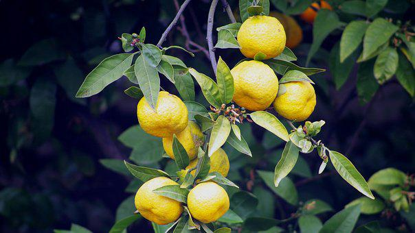 Tangerines, Fruit Tree, Taste, Citrus Fruits