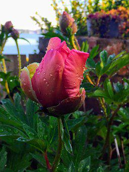 Rose, Pink, Blossom, Romantic, Garden