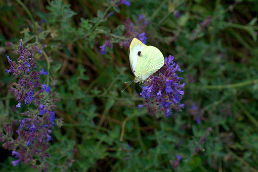 Butterfly, Lavender, Garden, Insect, Flower, Violet