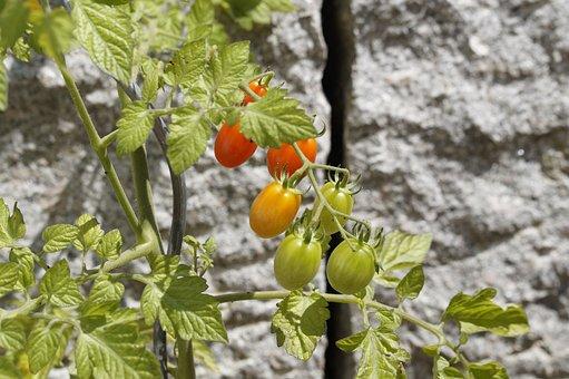 Tomatoes, Garden, Gardeners, Vegetables