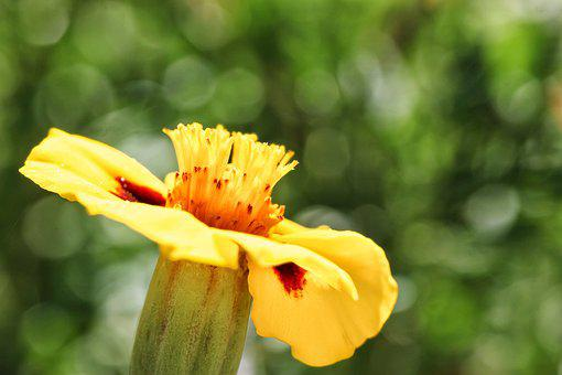Marigold, Flower, Nature, Yellow, Summer, Garden