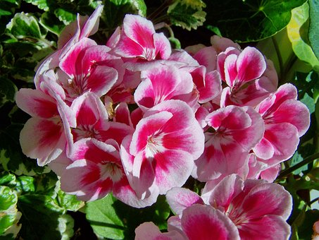 Geranium, Potted Flower, White-and-pink-flowered