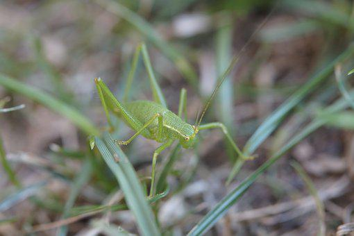 Grasshopper, Insect, Grass, Meadow, Close Up, Macro