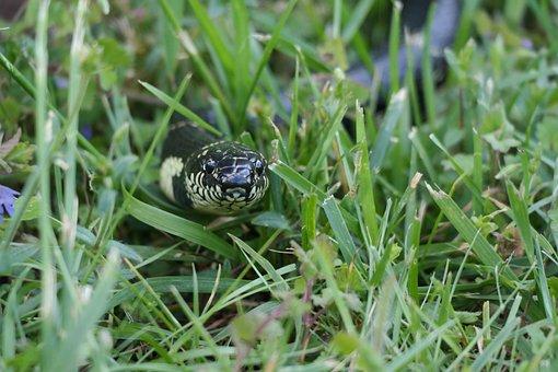 King Snake, Snake, Reptile, Banded, Grass, Serpent