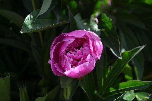 Pink Flower, Peony, Greens, Green, Pink, Flower, Bloom